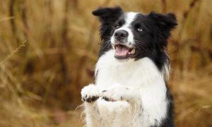 Jak naučit psa triky